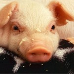 March 2 is National Pig Day